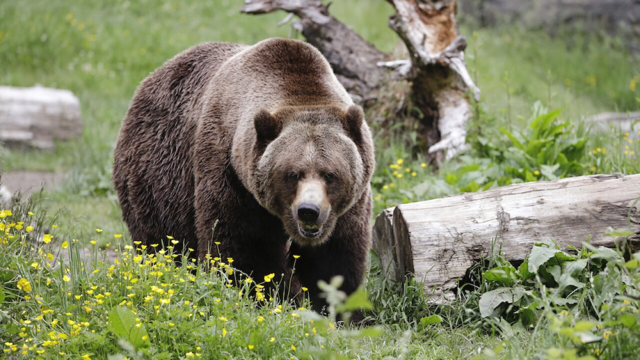 Hiker at Yellowstone National Park injured in grizzly bear attack