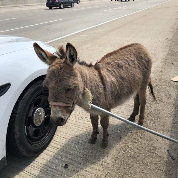 KNXV Donkey on I-90 Cook County IL.jpg