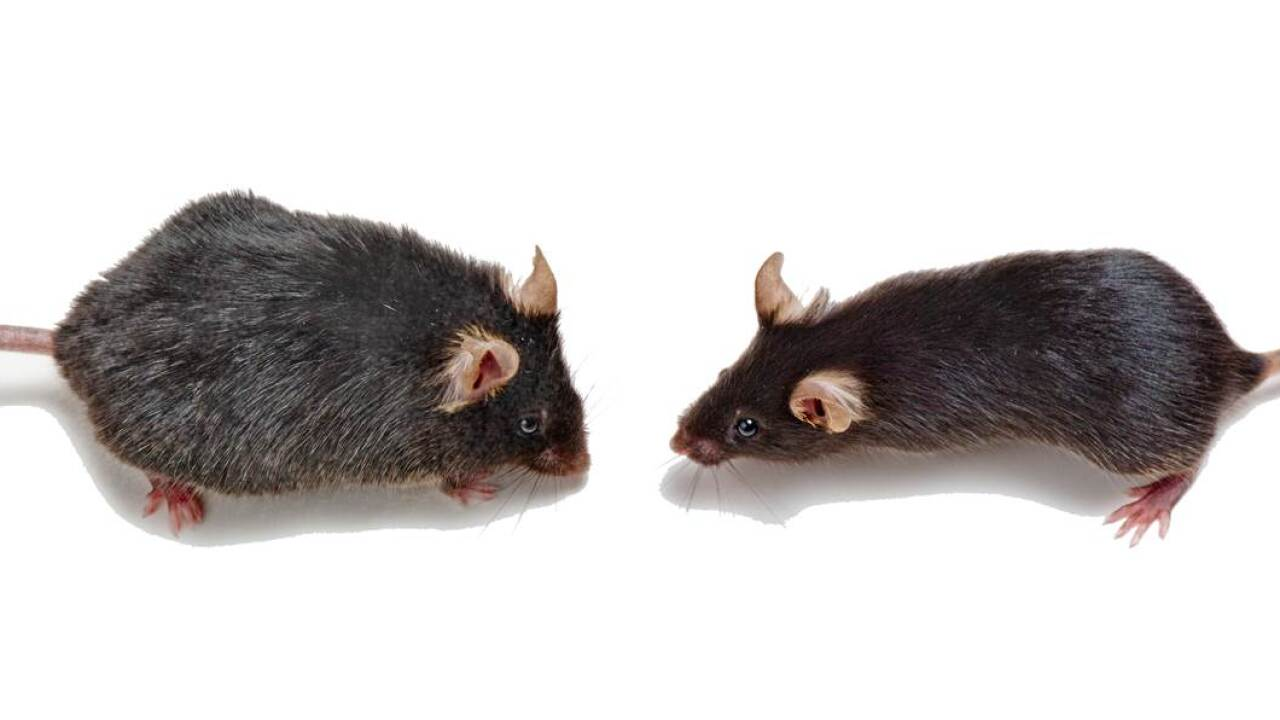 Young blood makes old mice more youthful