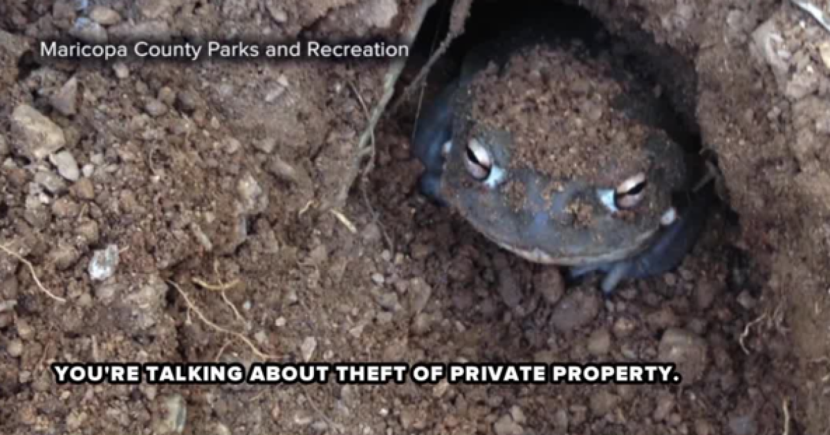 Video shows thieves stealing toxic Arizona toads