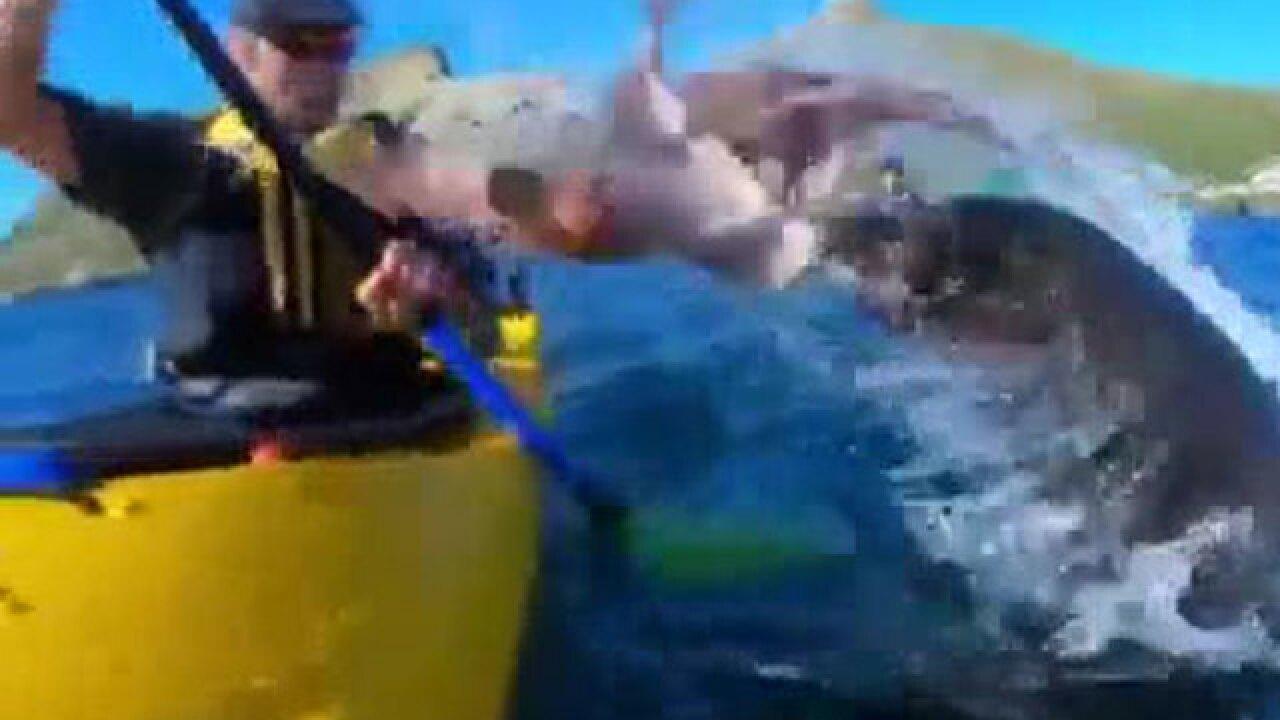 VIDEO: Seal slings octopus onto kayaker, swims away