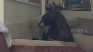 Bear in Colorado Springs Home