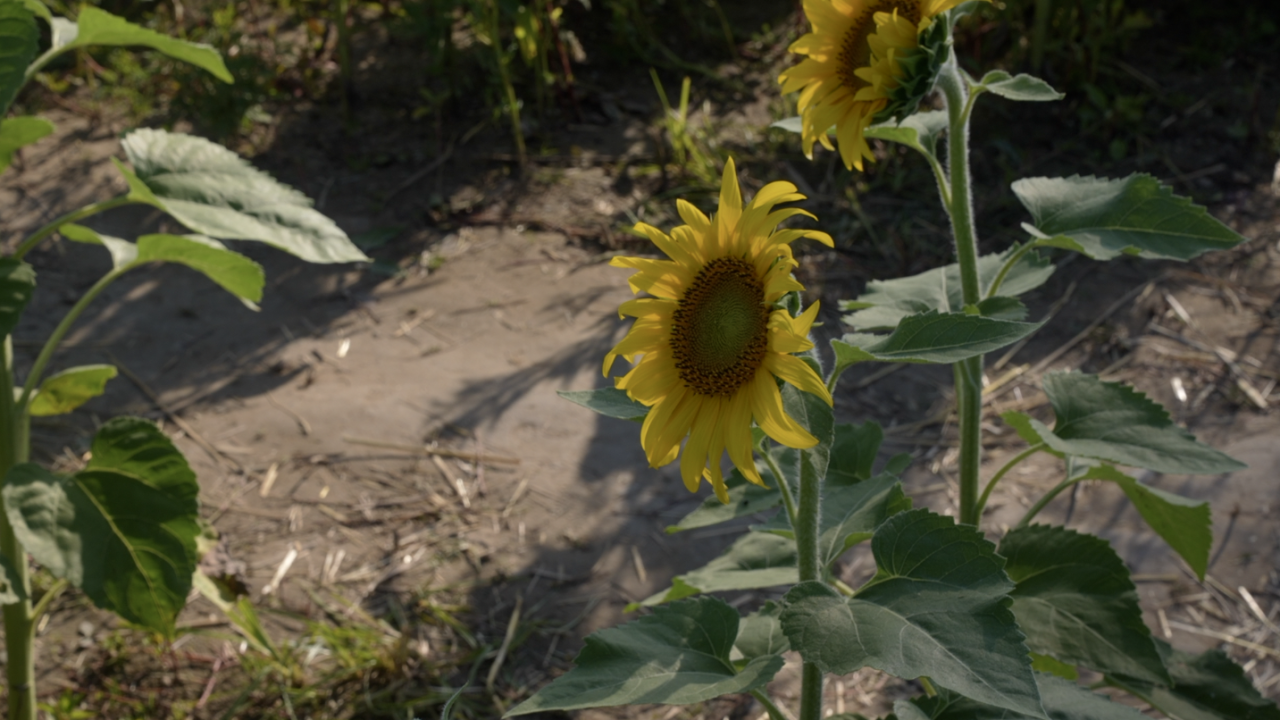 The sunflowers at Munsell Farms generally only last about a week and a half