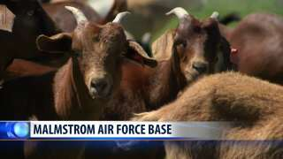 Goats get busy at Malmstrom AFB