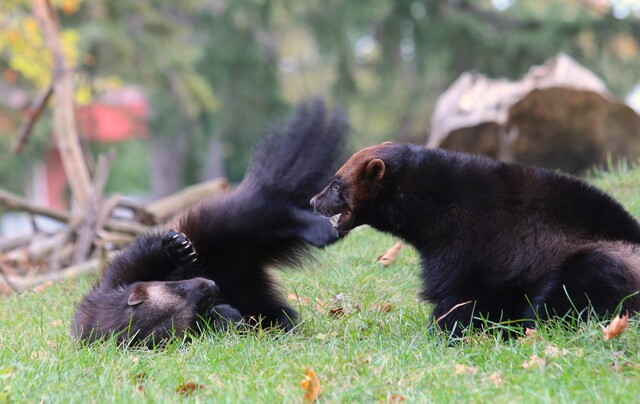 PHOTOS: Detroit Zoo welcomes new baby wolverines from Sweden