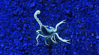 Scorpion Black Light.png