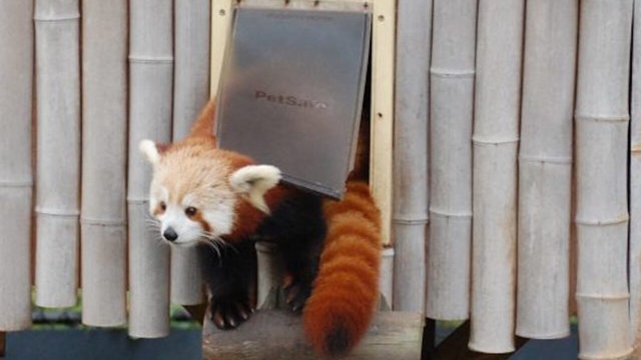 Red panda escaped from Virginia Zoo
