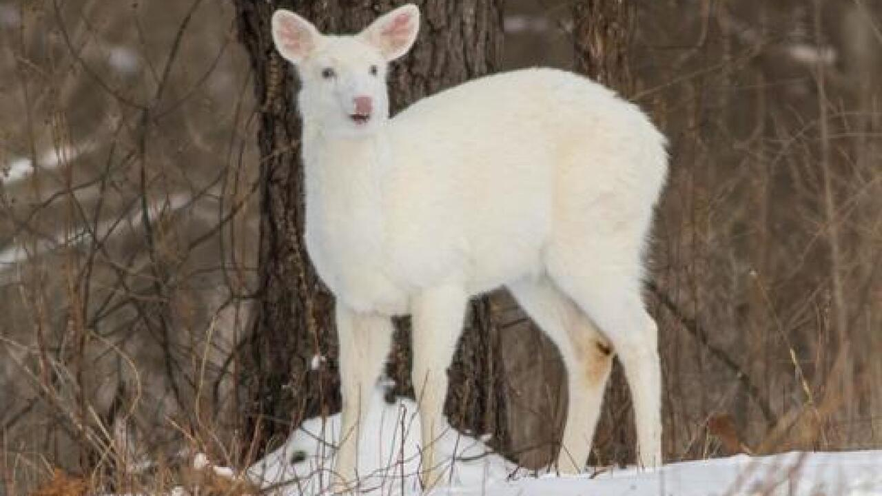 Rare albino deer caught on video in Oakland Co.