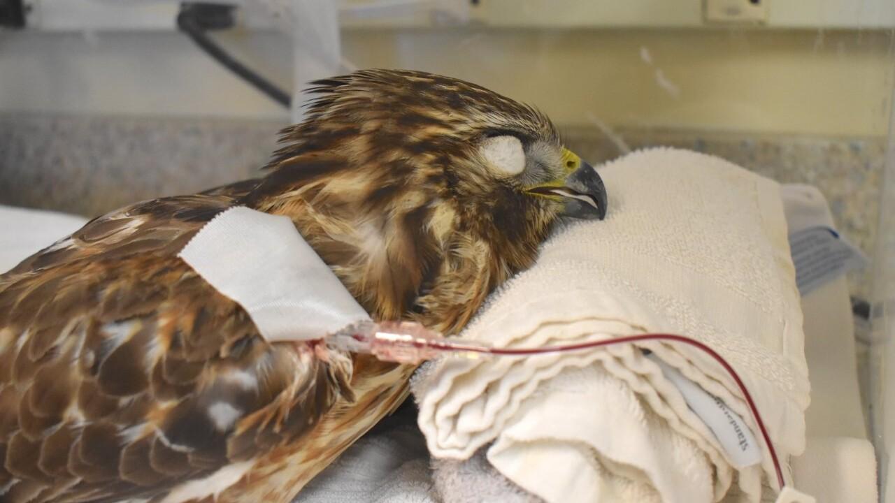 CROW hawk poisoned 12-6-19 3.jpg