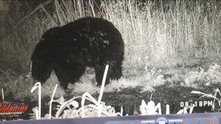 Black bear in Sparta