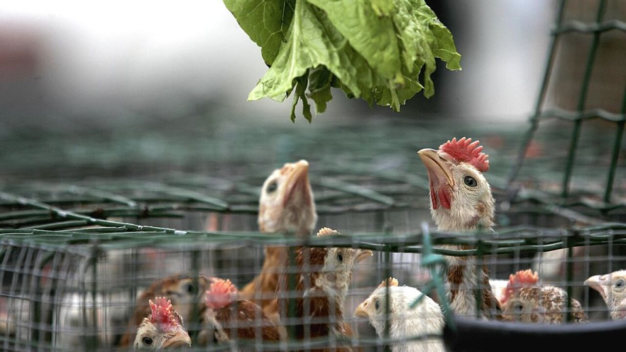 CDC: Hundreds sickened by 'backyard' poultry