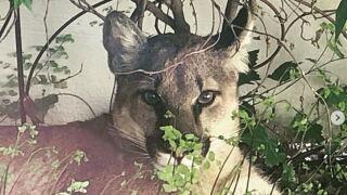Mountain Lion Orcutt.JPG
