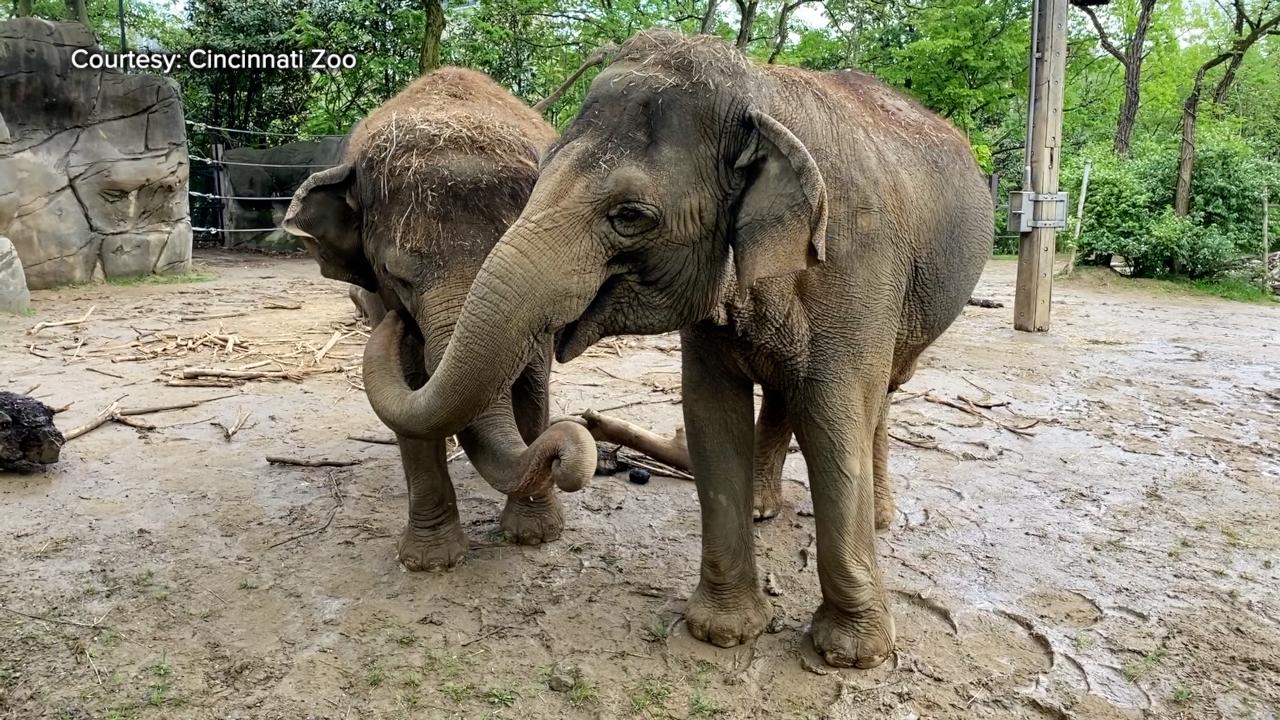Cincinnati Zoo Elephants