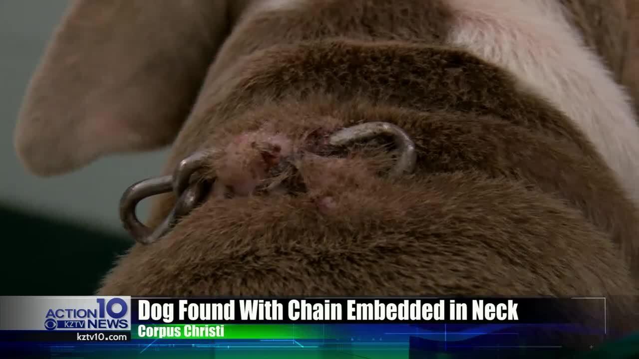 chain on dog
