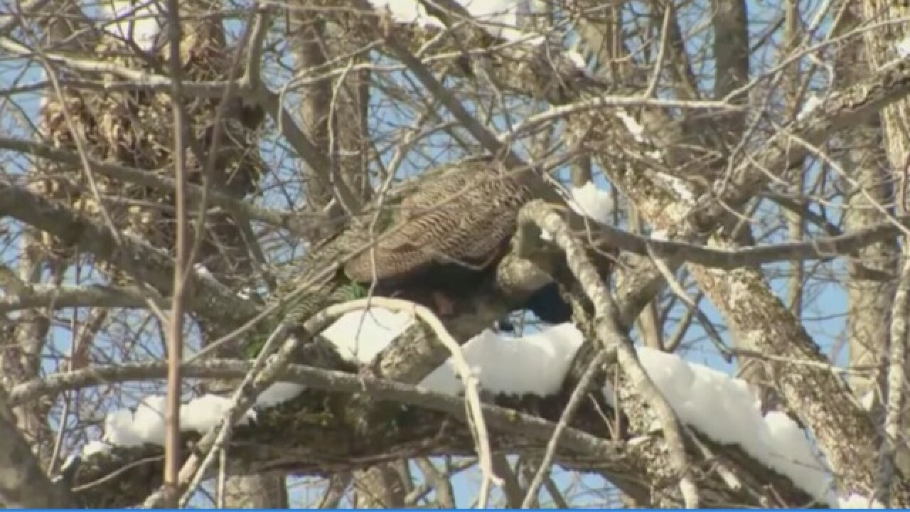 Vermont couple looking for family peacock among the turkeys