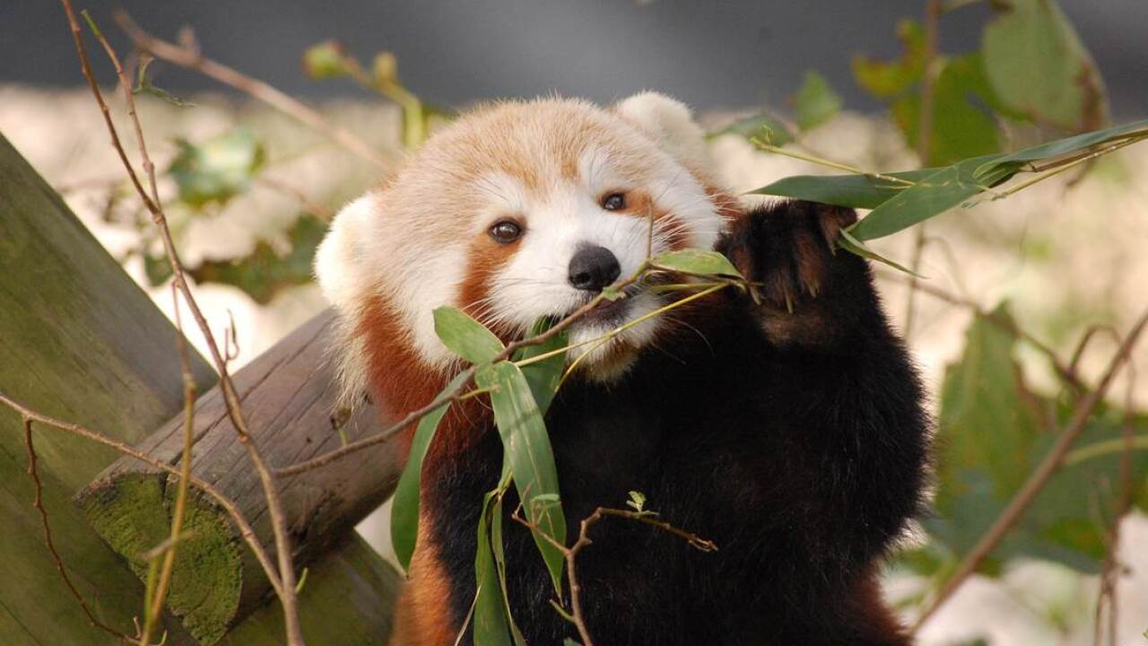Red panda missing from enclosure at Virginia Zoo