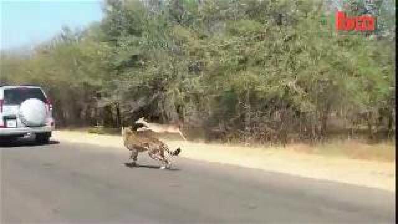 VIDEO: Impala leaps into car to avoid hungry cheetah