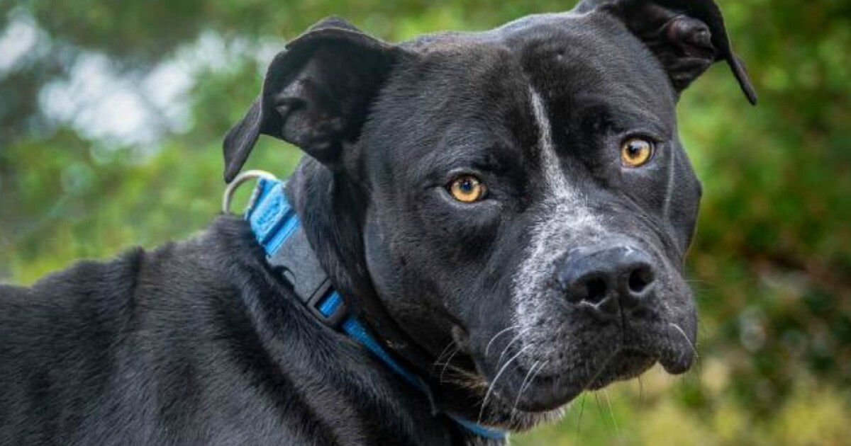b34fbae172a » Pet of the week  Caleb is looking for a loving family – ABC Action  NewsThe Doggy Blogger