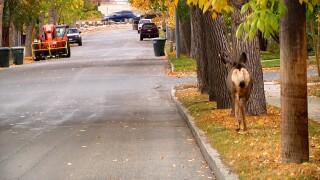 Urban Deer Survey