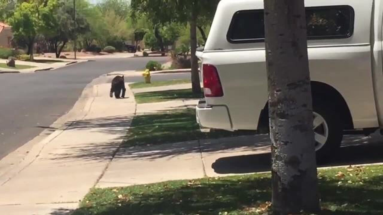 VIDEO: Young bear spotted in Mesa neighborhood