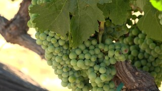 grapes-pic.jpg