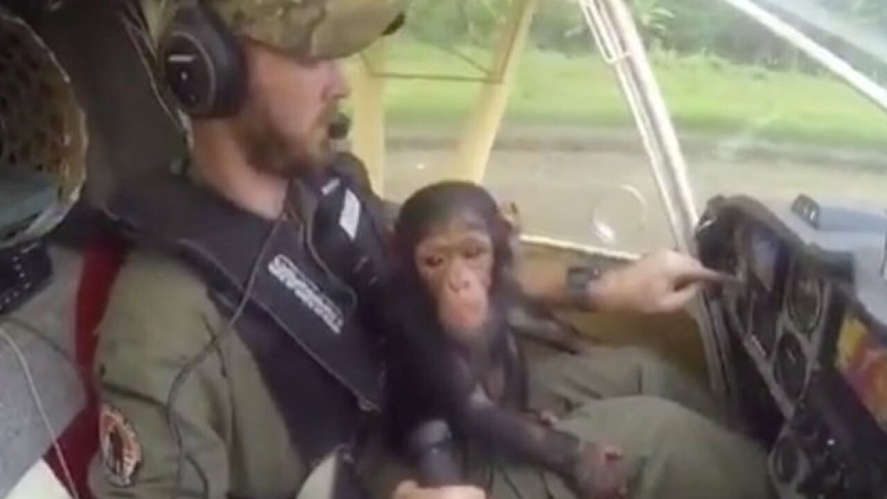 Adorable chimpanzee rescued, helps pilot fly