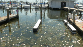 Dead fish due to red tide in Pinellas County, Florida on 7/13/2021