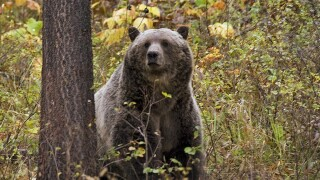 Grizzly Bears-Recovery