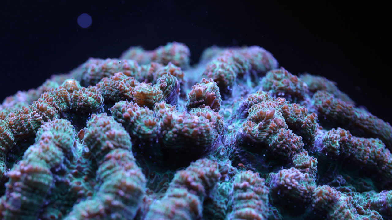 Florida Aquarium coral experts make breakthrough