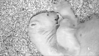 Video extra: Baby polar bear snuggles with its mama