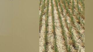 Drought hurting Montana farmers