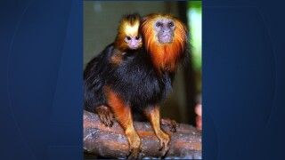 Golden Face Lion Tamarind monkey