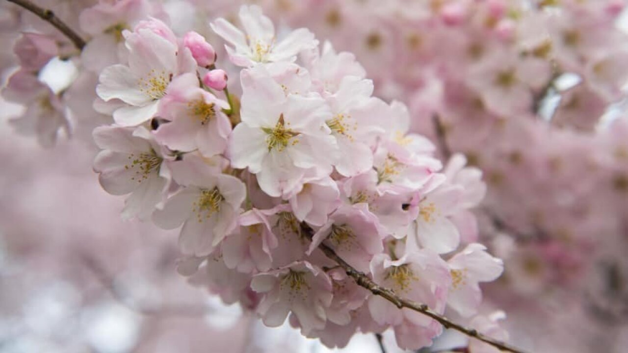 Cherry blossoms to reach 'peak bloom' in Washington, DC