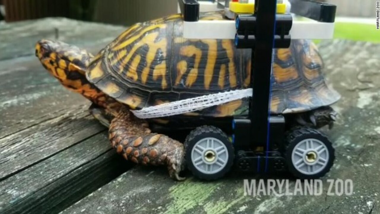 Injured turtle gets around with tiny wheelchair