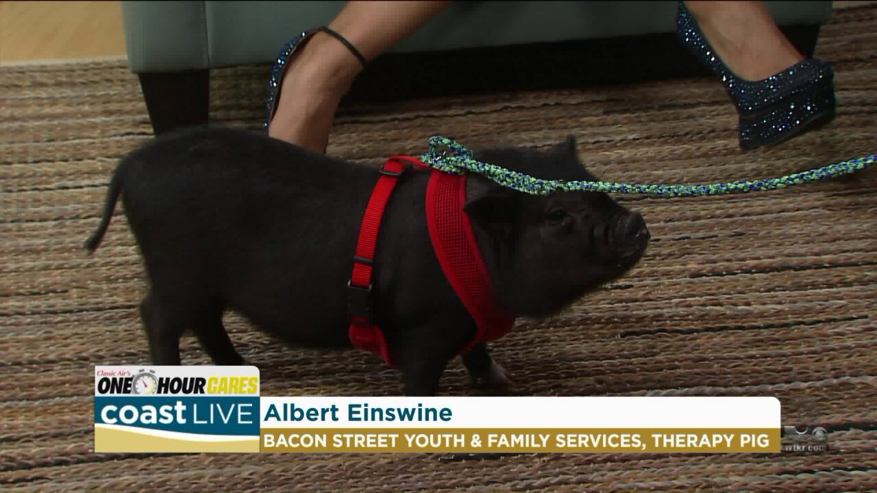 A therapy pig in training with a group helping local youth and families on Coast Live