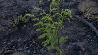 mt lemmon plant.jpg