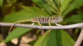 Germany Madagascar Chameleon Rediscovered
