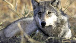 Trump administration ends endangered species protections for wolves