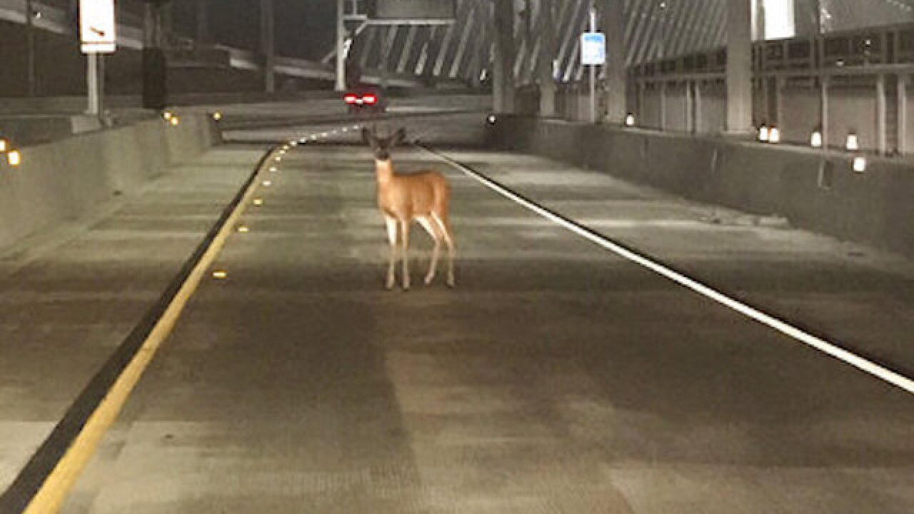 Officers stop deer on California bridge for 'toll evasion'