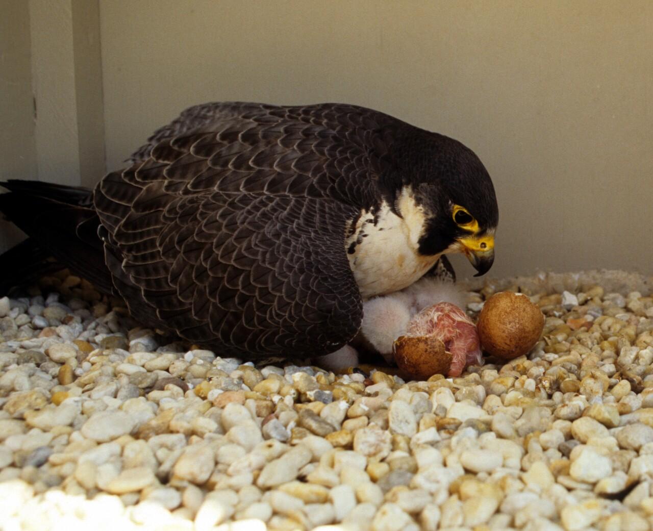bird raptor peregrine falcon nest egg daniel.jpg