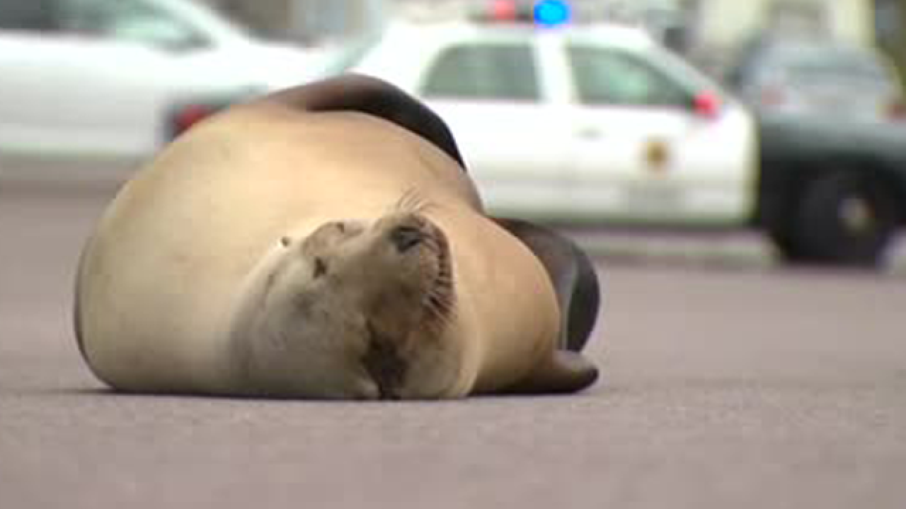 Sea lion blocks traffic on a California road