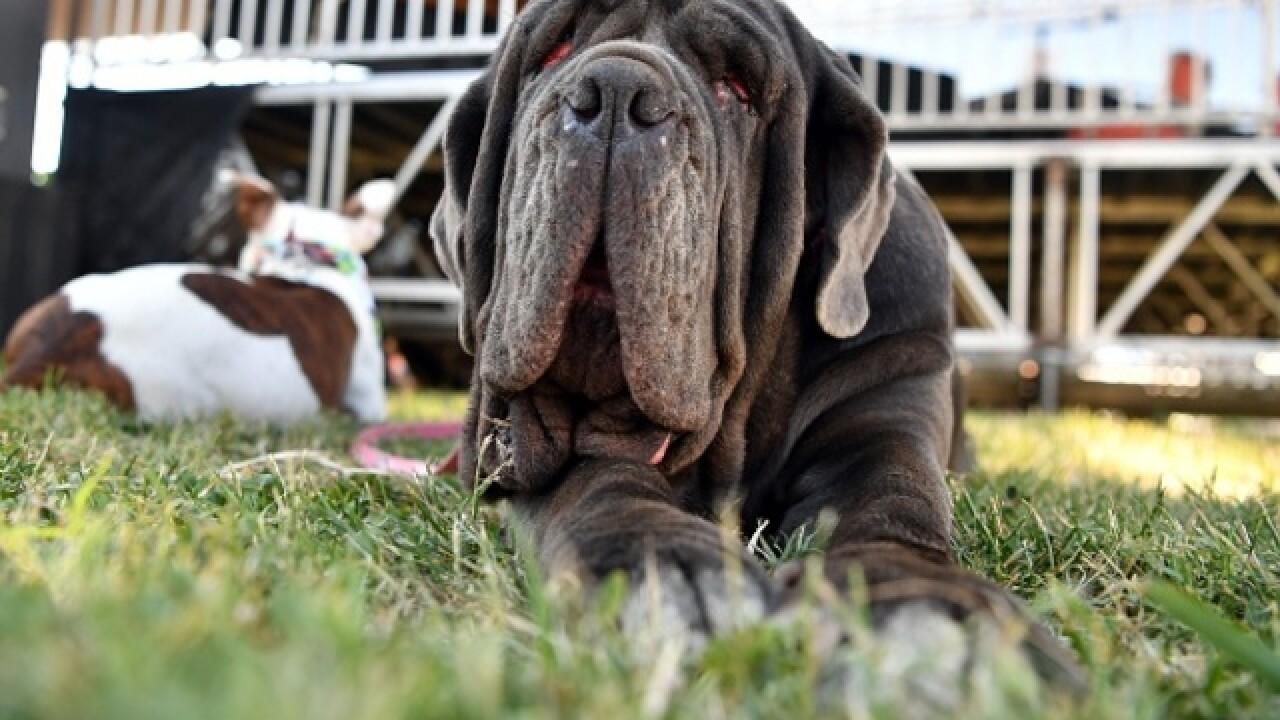 Neapolitan Mastiff crowned World's Ugliest Dog
