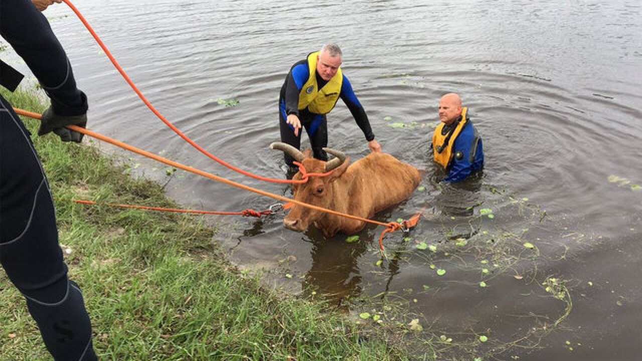 Firefighters rescue cow stuck in a canal