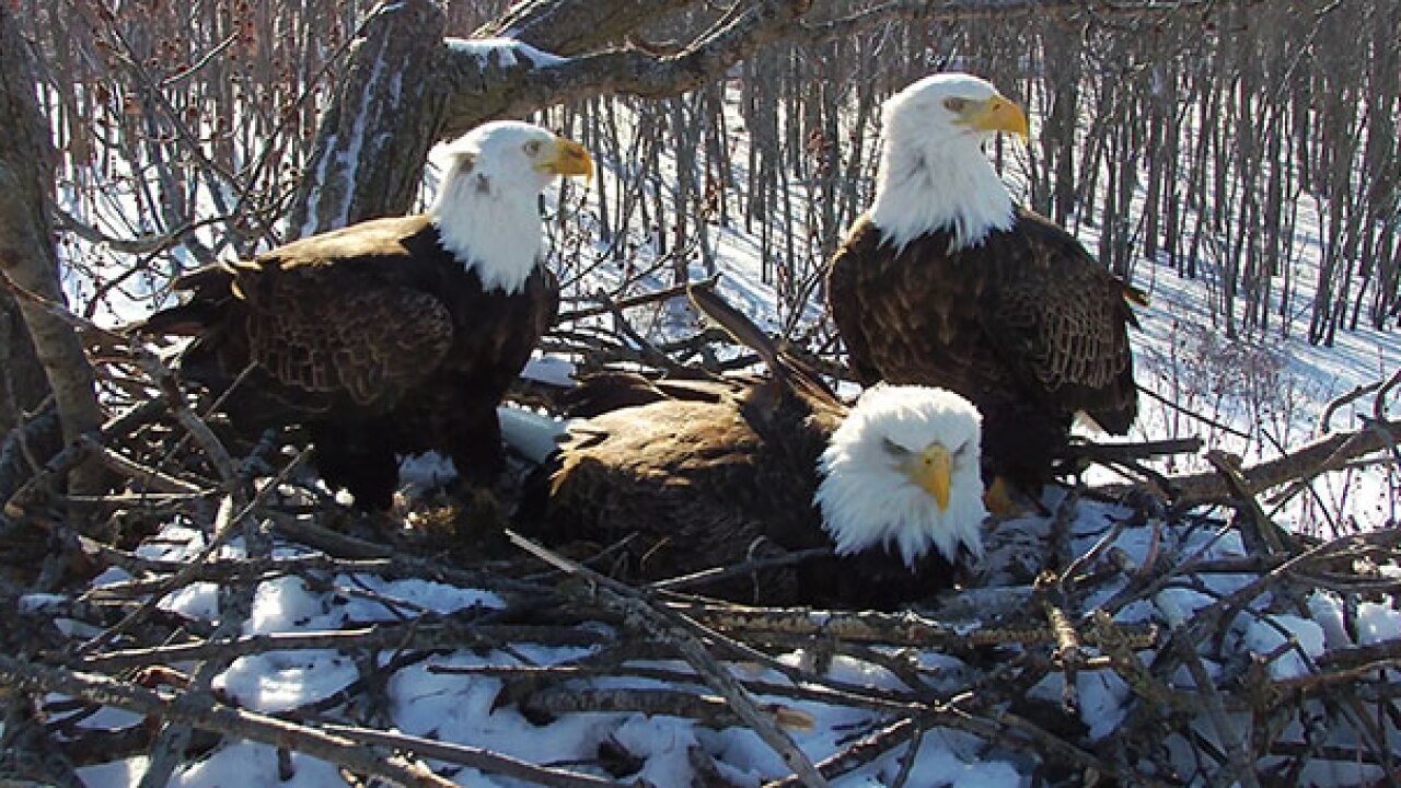 Trio of bald eagles consisting of 2 dads, mom raising family together