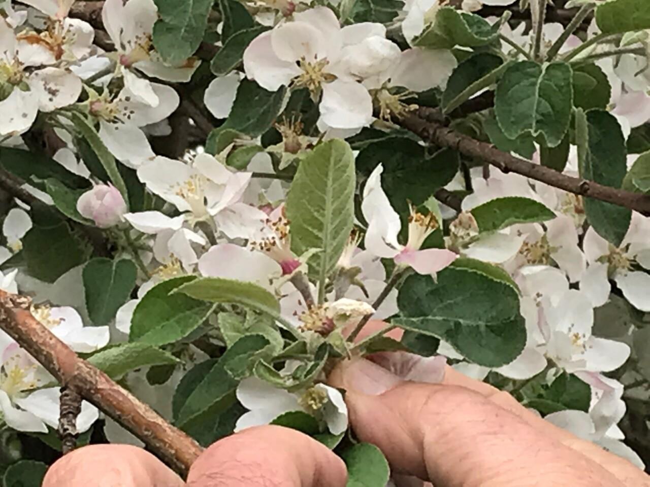 Apple Holler Apple Blossom - Tiny little Apples