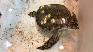 Cold-stunned sea turtles turning up after frigid temperatures