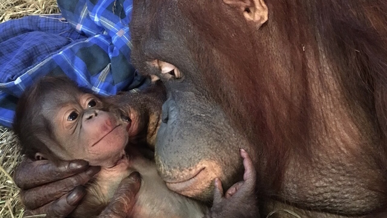 Baby orangutan is first born at National Zoo in 25 years; See the cute photo