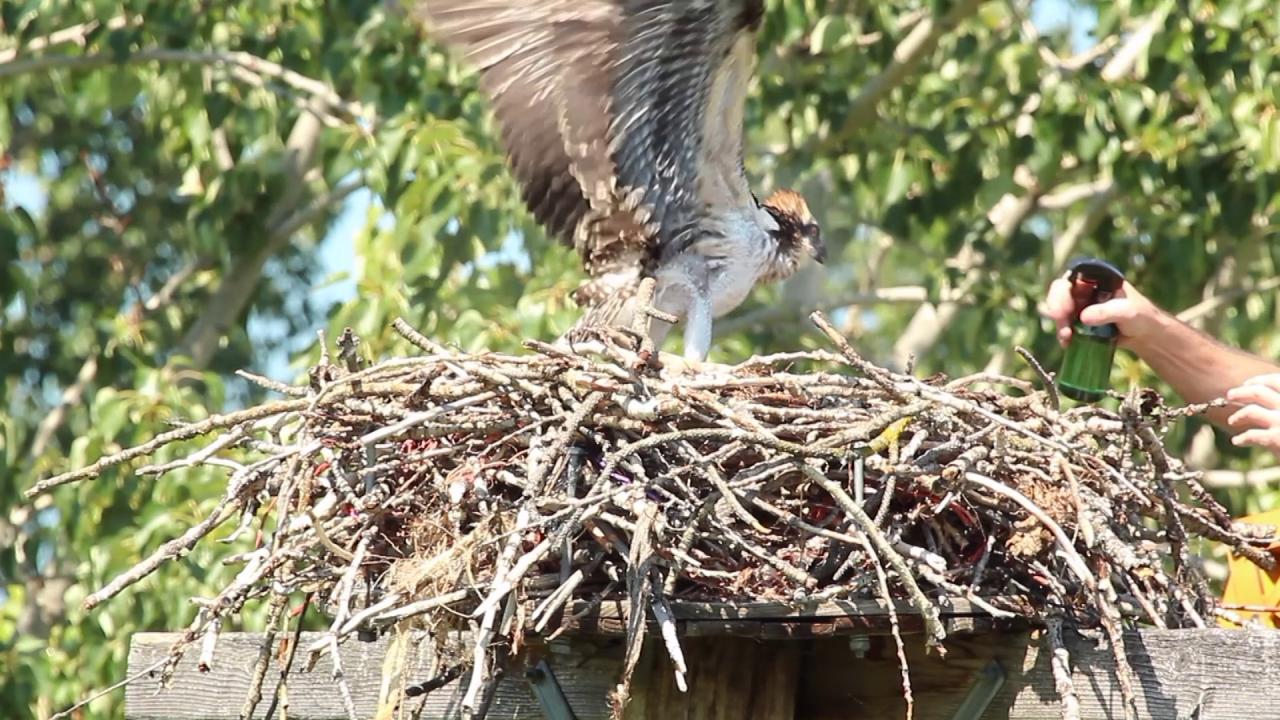 Protecting osprey in Montana