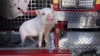 FDNY emotional support pig