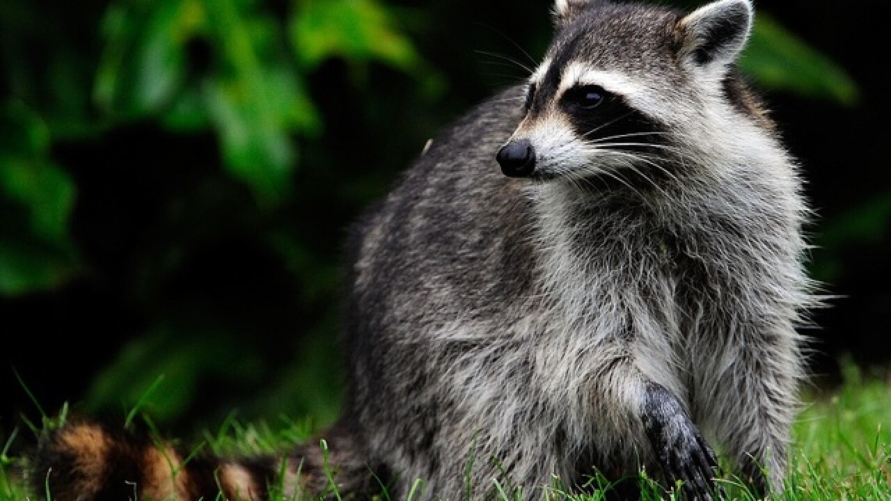 WATCH: Raccoons fall from ceiling into home